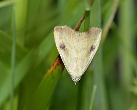 picture of moth  - Straw Dot Moth - Rivula sericealis