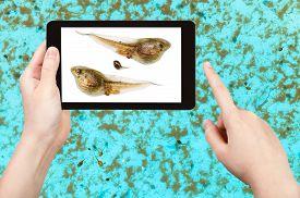 stock photo of tadpole  - naturalist studies tadpoles of frog in water pool on tablet pc - JPG