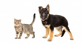 picture of tabby-cat  - German Shepherd puppy and a cat Scottish Straight standing together isolated on white background - JPG