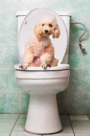 stock photo of pooping  - Concept of smart poodle dog pooping into toilet bowl - JPG