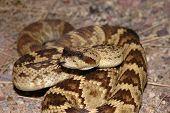 Black-Tail Rattlesnake