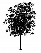 stock photo of maple tree  - Detailed vector illustration of a young maple tree silhouette - JPG