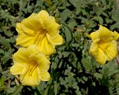 Closeup Of Three Yellow Flowers
