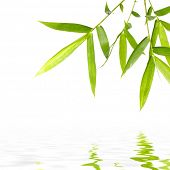 elegance bamboo leaves reflection