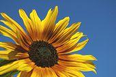 Sun Flower & Sky poster