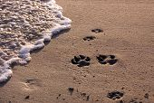 pic of paw-print  - Dog paw prints on beach with surf - JPG