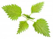 Stinging nettle (Urtica dioica) is rich in vitamins A, C, iron, potassium, manganese, and calcium. H