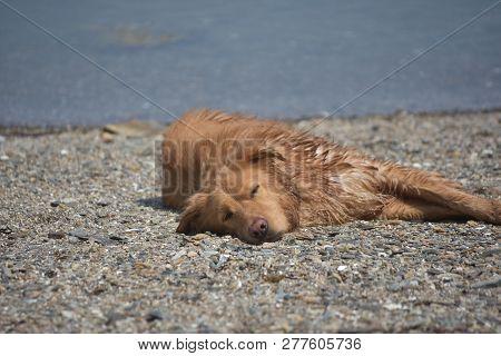 poster of Sleeping Nova Scotia Duck Tolling Retriever Dog On A Small Stone Beach.