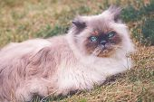 Beautiful Persian Seal Tortie Colorpoint Cat. Cute 2 Years  Old Persian Seal Cat Resting On The Gras poster