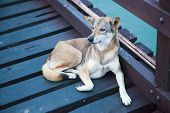 Stray Mixed Breed Brown White Color Street Dog Lying On Wooden Bridge Over Water Background. Domesti poster