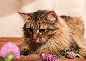 A Fluffy Gray Tabby Cat And A Pink Clover Flowers On A Beige Background. Funny Beautiful Tabby Cat W poster