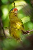 Orange-fronted Parakeet - Eupsittula Canicularis Or Orange-fronted Conure, Also Known As The Half-mo poster