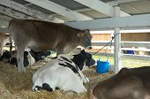 stock photo of casper  - cattle in the stable on the farm show - JPG