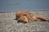 Sleeping Nova Scotia Duck Tolling Retriever Dog On A Small Stone Beach. poster