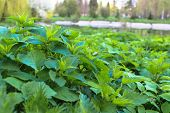 Leaves And Stems Of Stinging Nettle In The Middle Of Grass In A Selective Focus poster