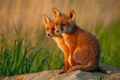 Red Fox, Vulpes Vulpes, Small Young Cubs Near Den Curiously Weatching Around. poster