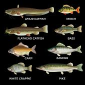 Freshwater Fish Species. Pike, Zander, Perch, Bass, Carp, White Crappie, Catfish. Vector Illustratio poster