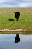 Range Cow Reflection