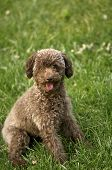 foto of prone  - close up shot of laughing teddy dog sitting on the ground - JPG
