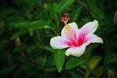Hibiscus rosa-sinensis flower on tree in the garden