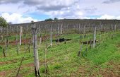 pic of tokay wine  - Vineyard in the Tokaj hills in North Hungary - JPG