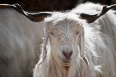 picture of cashmere goat  - White kashmir  - JPG