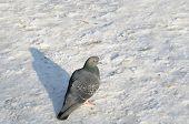 Pigeon on the winter street
