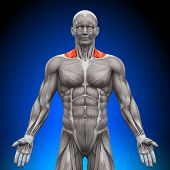 Trapezius Front / Nech Muscles - Anatomy Muscles