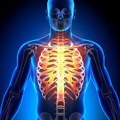 Caixa torácica - anatomia ossos