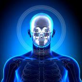 Schädel / Skull / Unterkiefer - Anatomie Bones