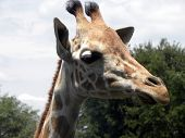 Headshot of Giraffe