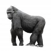 Silberrücken-Gorilla, Isolated On White