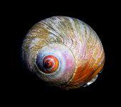 Moon Snail Redux
