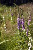 foto of digitalis  - Foxglove - JPG