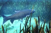 Grass Carp - Merritts Mill Pond