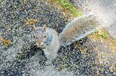 Squirrel Eating An Acorn