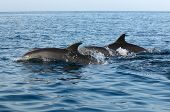 Dolphins In Indian Ocean