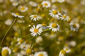 pic of feverfew  - Some feverfew are soaking up the sunlight - JPG