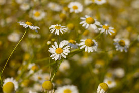 image of feverfew  - Some feverfew are soaking up the sunlight - JPG