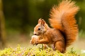 pic of hazelnut tree  - Squirrel with nut on mossy green grass - JPG