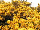Gorse Flowers