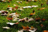 Fallen Leaves, Green Grass