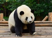 Giant Panda Bear