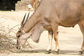 foto of eland  - Antelope is a term referring to many even - JPG