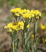 Helichrysum Arenarium