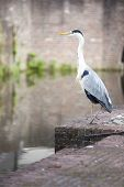 Blue heron in old city
