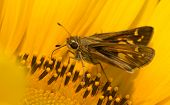 Tiny Skipper butterfly feeding on a bright yellow wild Sunflower