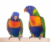 stock photo of lorikeets  - Rainbow Lorikeet  - JPG