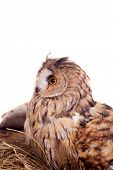 Long-eared Owl nesting isolated on white