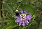 Bumble Bee on a Passion Flower